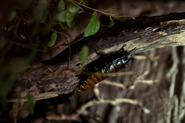 Afrikanische kakerlake Kostenlose Fotos