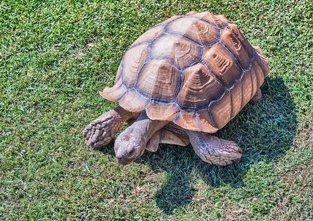 Afrikanische spornschildkröte auf gras Premium Fotos