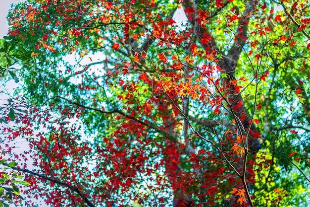 Ahornblätter im tropischen regenwald gestalten nebeliges wetter an thailändischem bezirk phuhinrongkla-nationalparks nakhon in phitsanulok, thailand, rotahornbäume landschaftlich. Premium Fotos