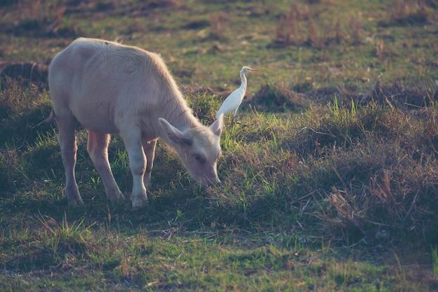 Albinobüffel, asiatischer wasserbüffel im reisfeld Premium Fotos
