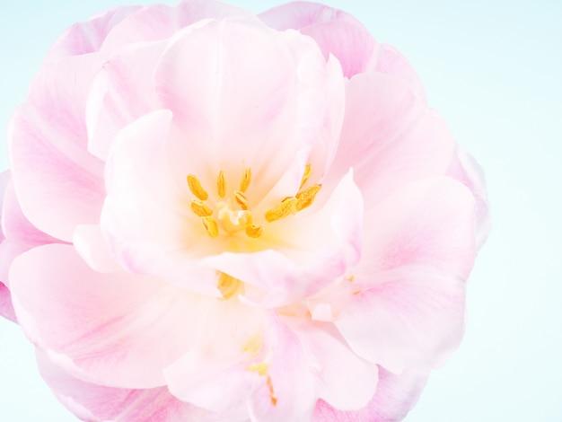Allein rosa tulpe auf blauem hintergrund mit kopienraum für karte Premium Fotos