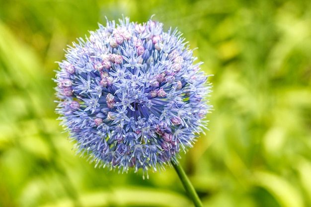 Allium caeruleum Premium Fotos