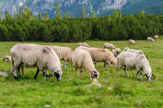 Almen in nationalpark retezat, karpaten, rumänien. Premium Fotos