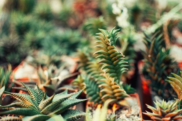 Aloe ostifolia ist eine saftige krautige pflanze, eine art der aloe-gattung der familie der asphodelaceae. Premium Fotos