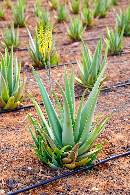 Aloe vera feld in kanarischen inseln spanien Premium Fotos