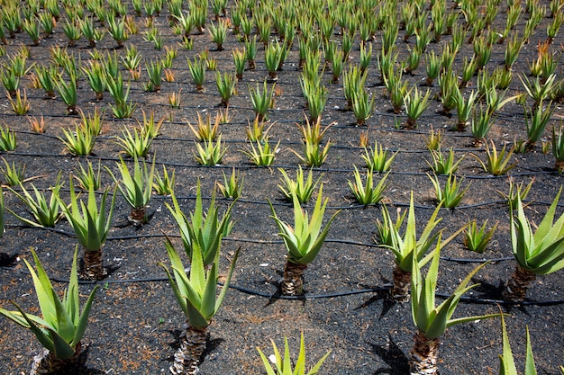 Aloe vera felder in lanzarote orzola auf den kanarischen inseln Premium Fotos
