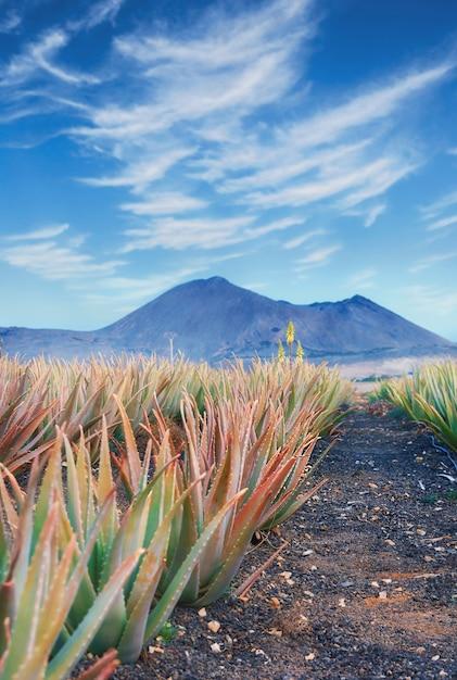 Aloe vera plantage auf fuerteventura Premium Fotos