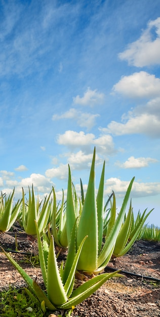 Aloe vera-plantage in fuerteventura, kanarische inseln Premium Fotos