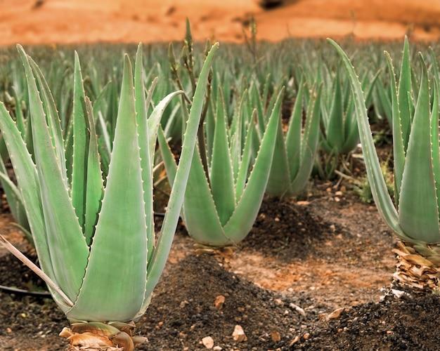 Aloe vera plantage Premium Fotos