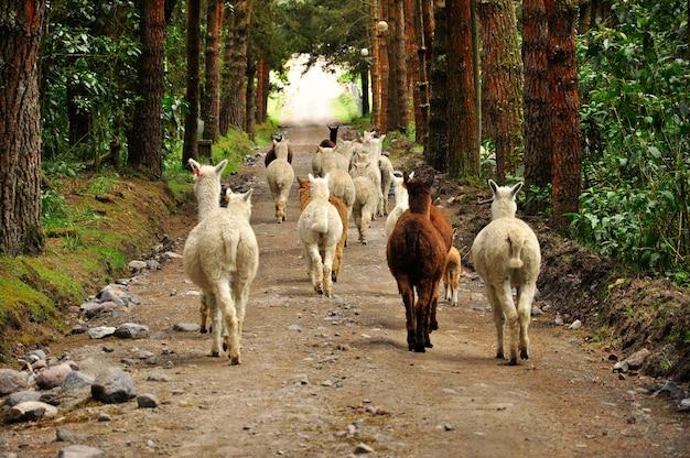 Alpaka in einem wald Premium Fotos