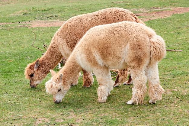 Alpaka, lama oder lama essen ein grünes gras auf einer wiese Premium Fotos