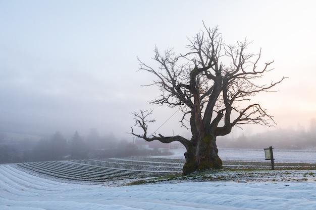 Alte eiche in der winterlandschaft mit nebel. mollestadeika. eine der größten eichen in norwegen. Premium Fotos