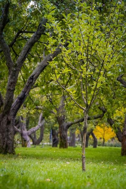 Alte krumme apfelbäume, obstgarten im herbststadtpark. Premium Fotos