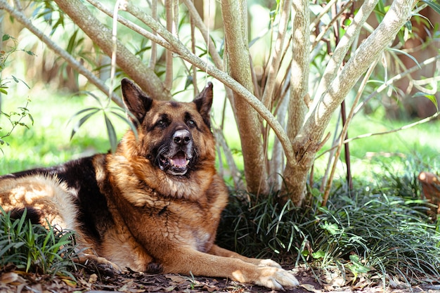 Alter deutscher schäferhund, der an einem sonnigen tag neben einem baum in einem garten liegt Kostenlose Fotos