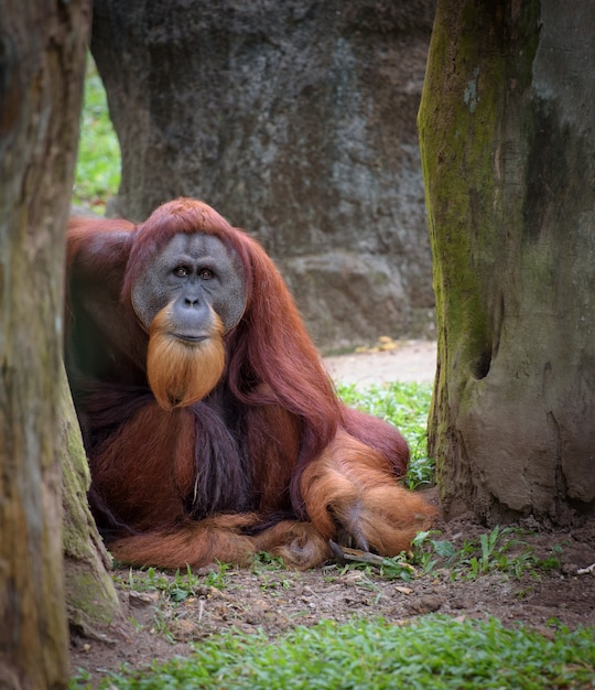 Alter kluger orang-utan steht unter dem baum still Premium Fotos