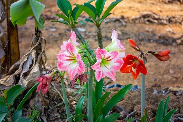 Amaryllis mit roten blütenblättern und rosa gemischten weißen blütenblättern. Premium Fotos