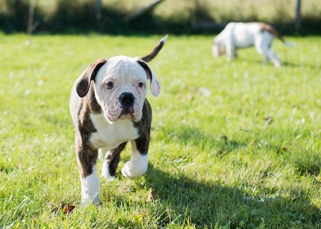 American Bulldog Welpen Spielen In Der Natur Premium Foto