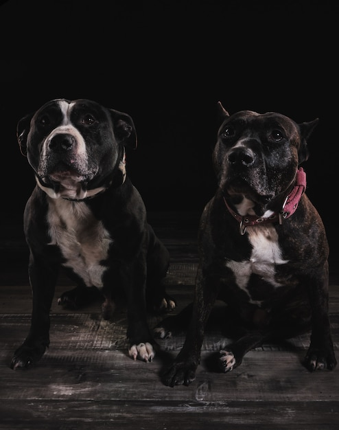 American race stafford terrier Premium Fotos