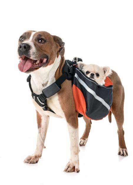American staffordshire terrier, chihuahua und tasche Premium Fotos