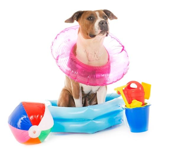 American staffordshire terrier in den ferien Premium Fotos