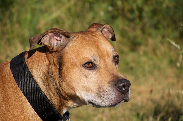 Amerikanischer pit bull terrier Premium Fotos
