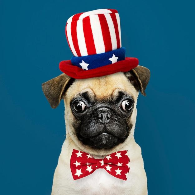 Amerikanischer pugwelpe Premium Fotos