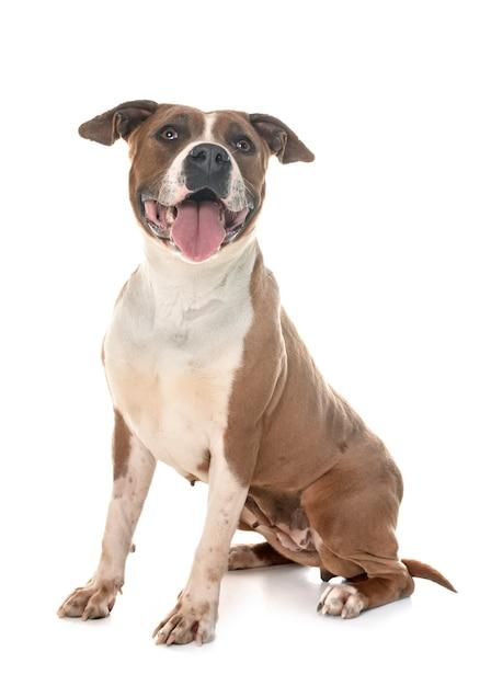Amerikanischer staffordshire terrier Premium Fotos