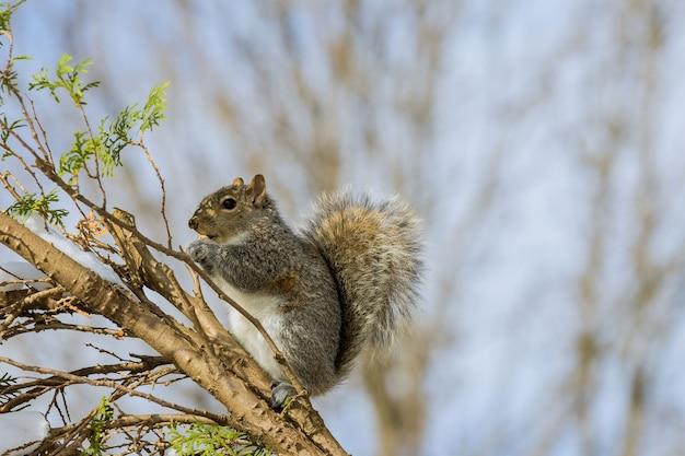 Amerikanisches eichhörnchen frisst im winter eine nuss, die mit walnüssen füttert Premium Fotos
