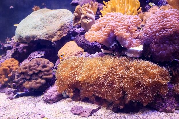Amphiprion ist in der anemone. thailand. Premium Fotos