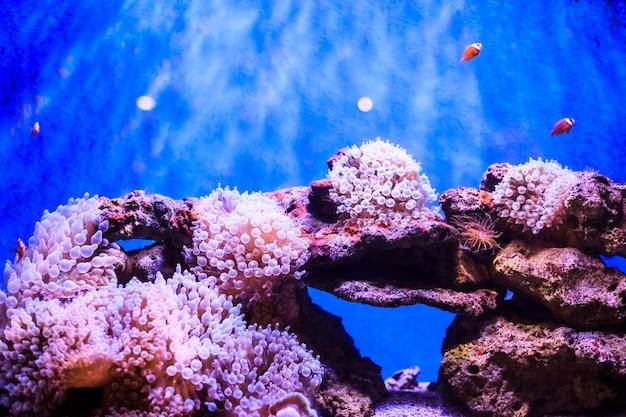 Amphiprion (westlicher clownfisch) Premium Fotos