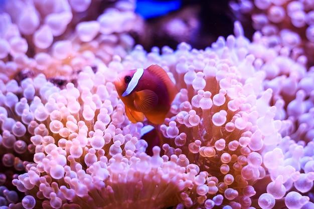 Amphiprion, westlicher clownfisch Premium Fotos