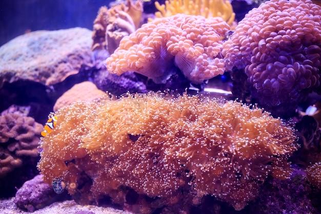 Anemone mit clownfish, thailand unterwasser Premium Fotos