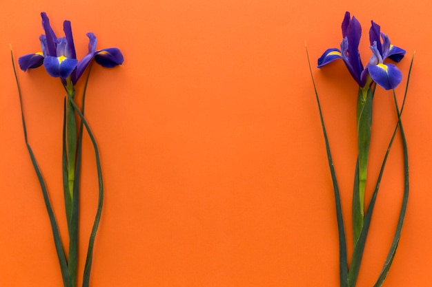 Anordnung für irisblumen über farbigem hintergrund Kostenlose Fotos