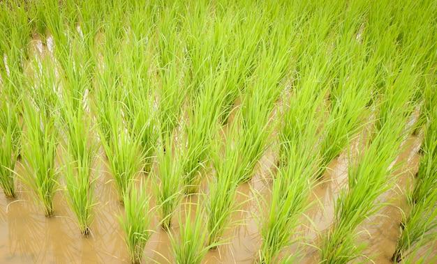 Anpflanzen von reis auf der regenzeitlandwirtschaft landwirt, der auf dem organischen ackerland des ungeschützten reises pflanzt Premium Fotos