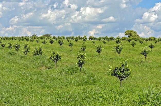 Anpflanzung von orangen mit jungen bäumen Premium Fotos