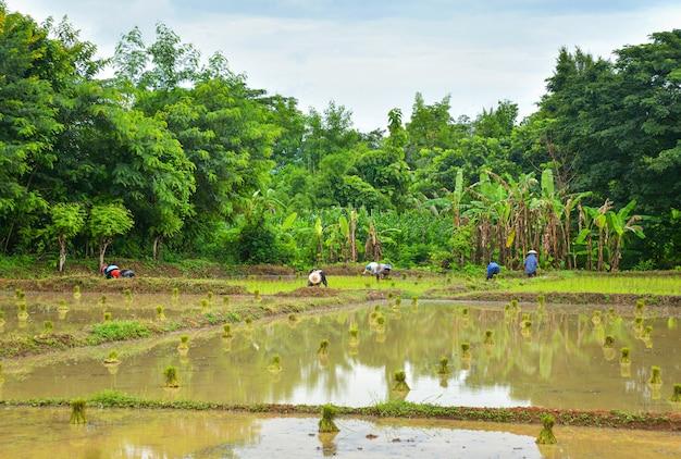 Anpflanzung von reis in der regenzeit asiatische landwirtschaft landwirt, der auf dem organischen ackerland des ungeschützten reises pflanzt Premium Fotos