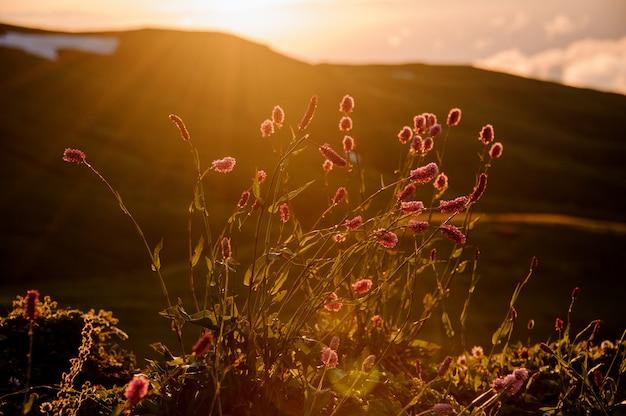 Ansicht der kleinen rosa blumen auf dem feld im unscharfen hintergrund des hügels in der goldenen stunde Premium Fotos