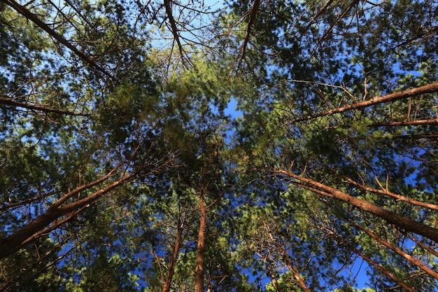 Ansicht von unten von hohen alten bäumen im immergrünen urwald Premium Fotos