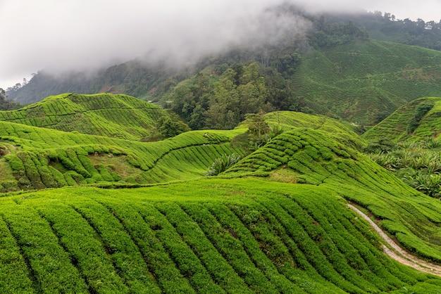 Ansichten der teeplantage im cameron highlands Premium Fotos