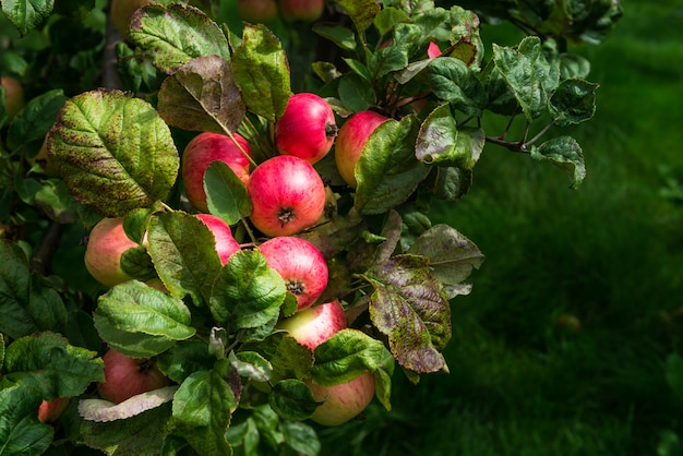 Apfelbäume im garten während des herbstes, großbritannien Premium Fotos