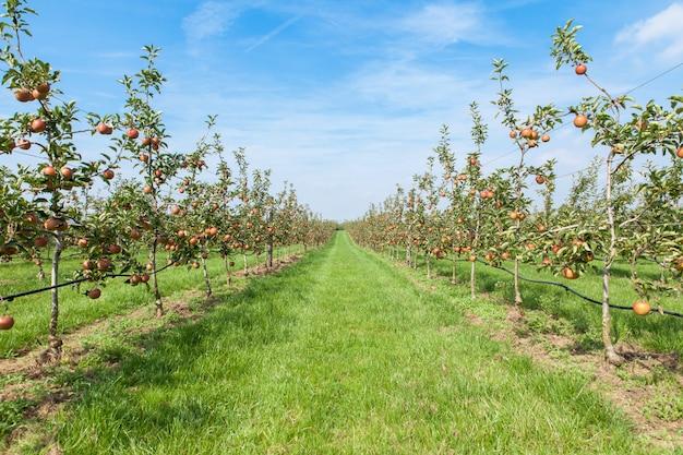 Apfelbäume luden mit äpfeln in einem obstgarten im sommer Premium Fotos