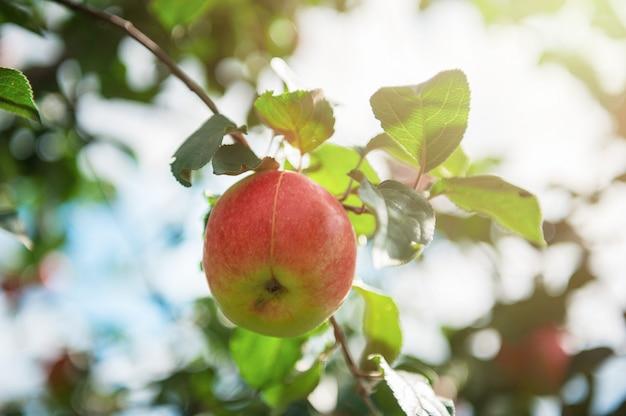 Apfelbaum mit äpfeln Premium Fotos
