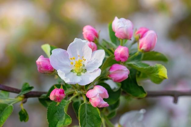 Apfelbaumzweig mit blumen und knospen im frühlingsgarten Premium Fotos