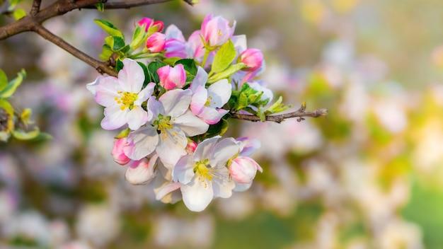 Apfelblüten, apfelblumen auf einem bei sonnigem wetter verschwommen Premium Fotos