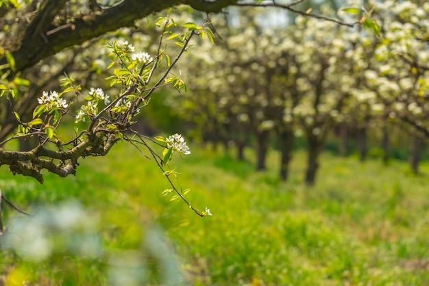 Apfelgarten mit blühenden bäumen Premium Fotos