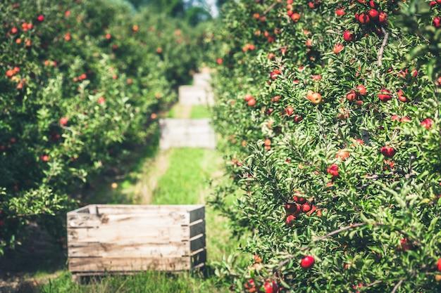Apfelgarten voller gereifter roter früchte Premium Fotos