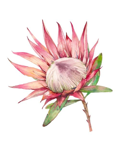 Aquarell protea blume. handgemalte exotische pflanze lokalisiert auf weißem hintergrund. botanische illustration der sommerflora Premium Fotos