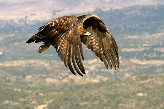 Aquila chrysaetos Premium Fotos