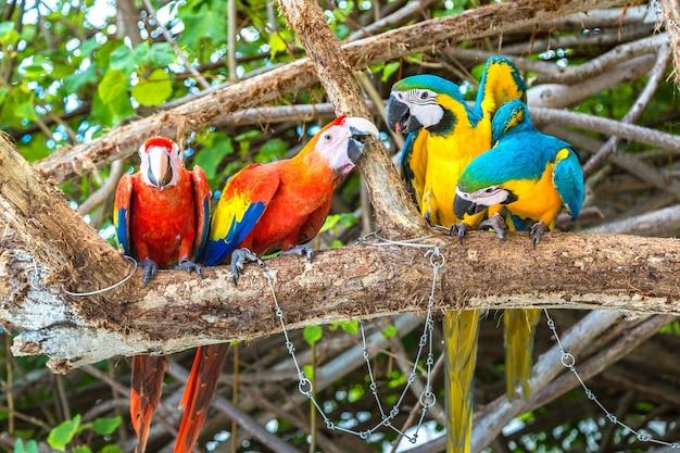 Ara (ara ararauna) papageien stehen auf dem ast Premium Fotos