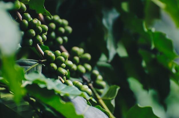 Arabica- und robustabaum in der kaffeeplantage. Premium Fotos